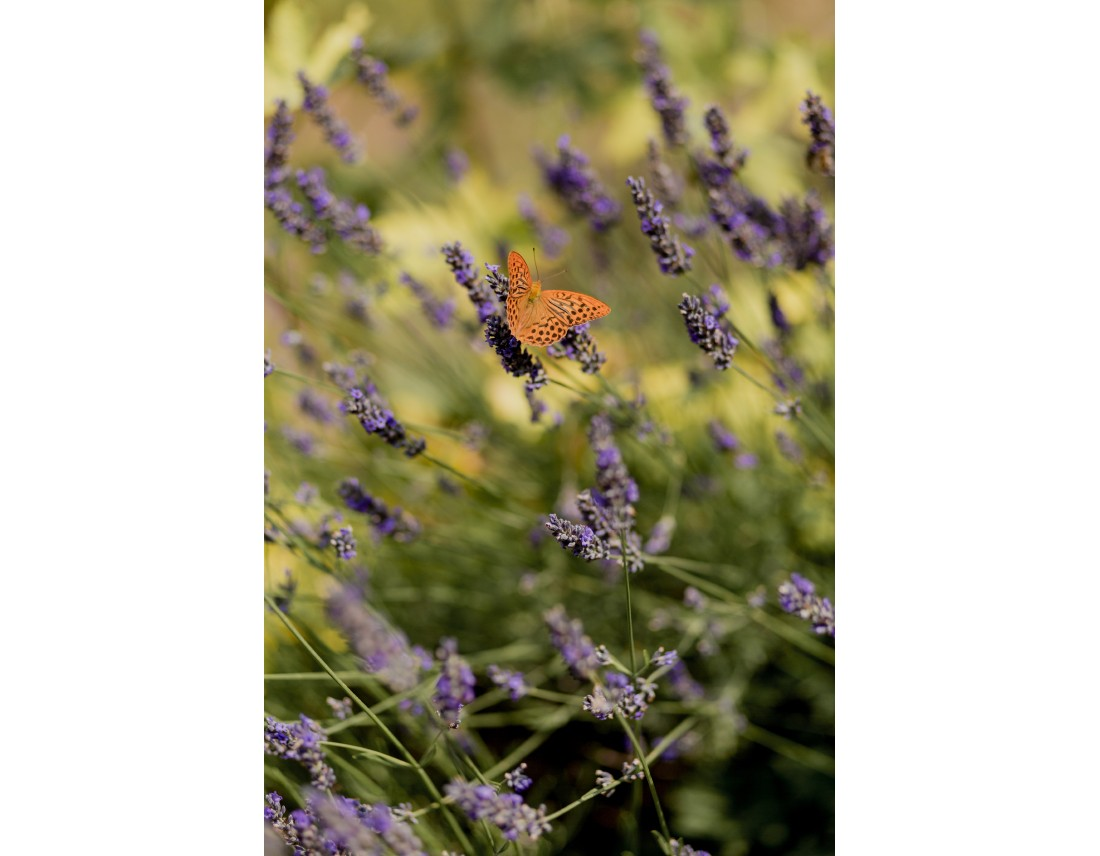 Papillon sur de la lavande